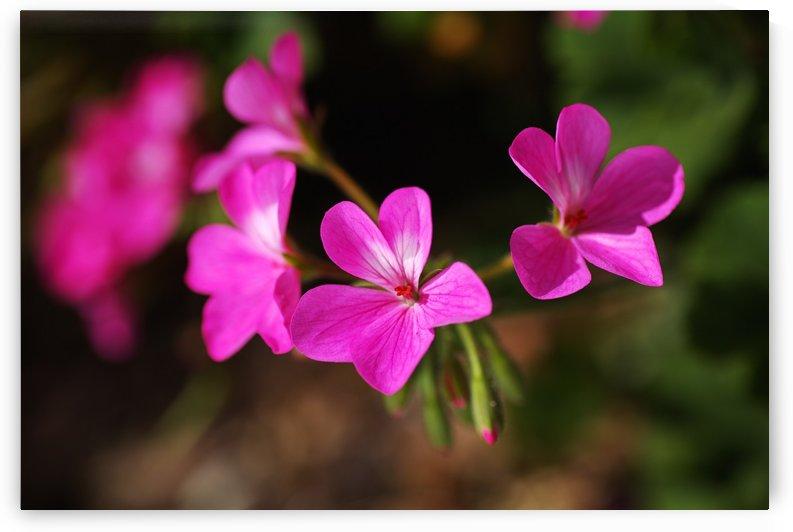 Geraniums In Pink by Joy Watson
