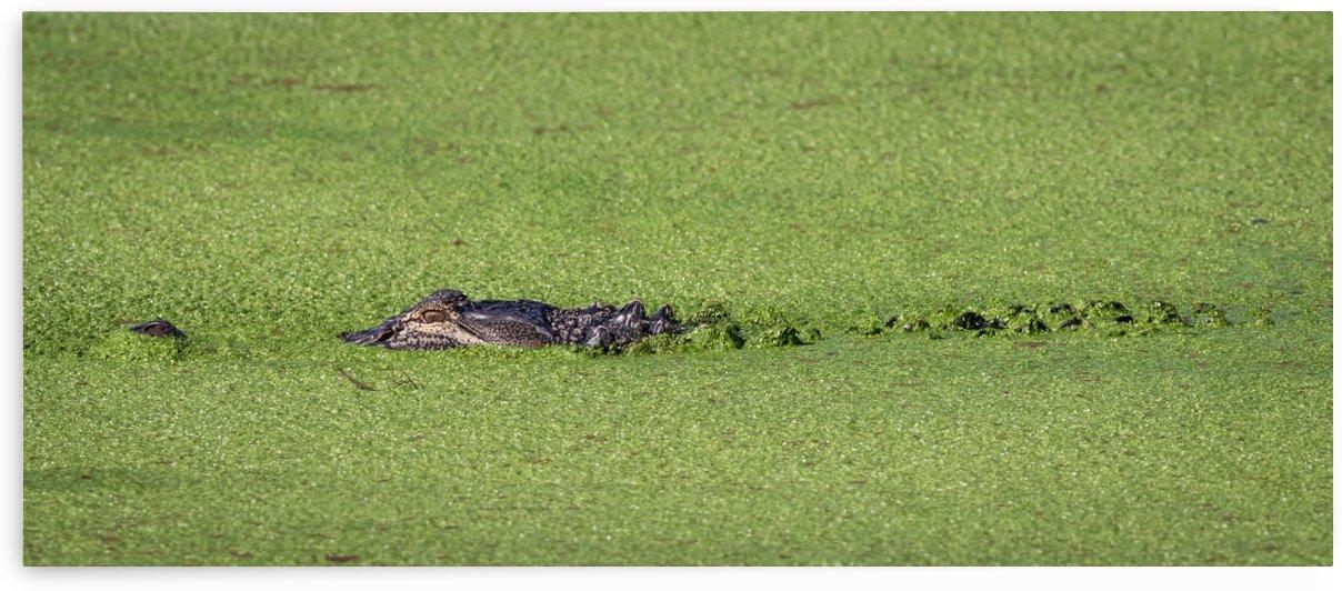 Phinizy Swamp Alligator   Augusta GA Panoramic 4786 by @ThePhotourist