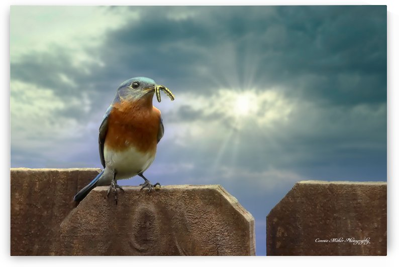 Bluebird in Sun by Connie Maher