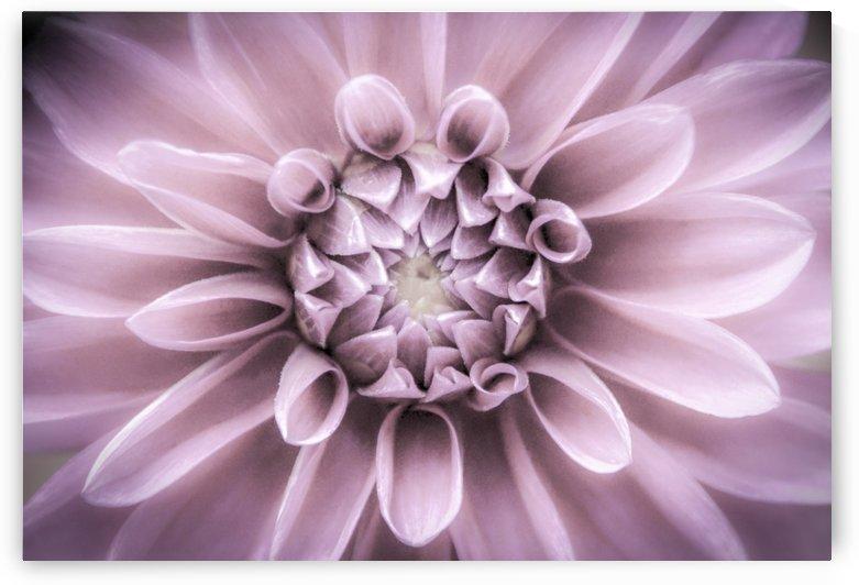 Dahlia Softer tones by Judy H McPhee