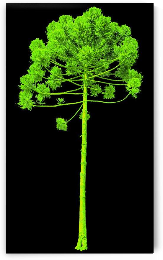 Green Araucaria I by Carlos Wood