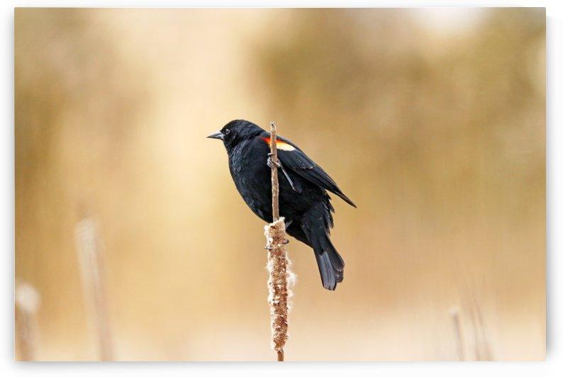 Blackbird Beauty by Deb Oppermann