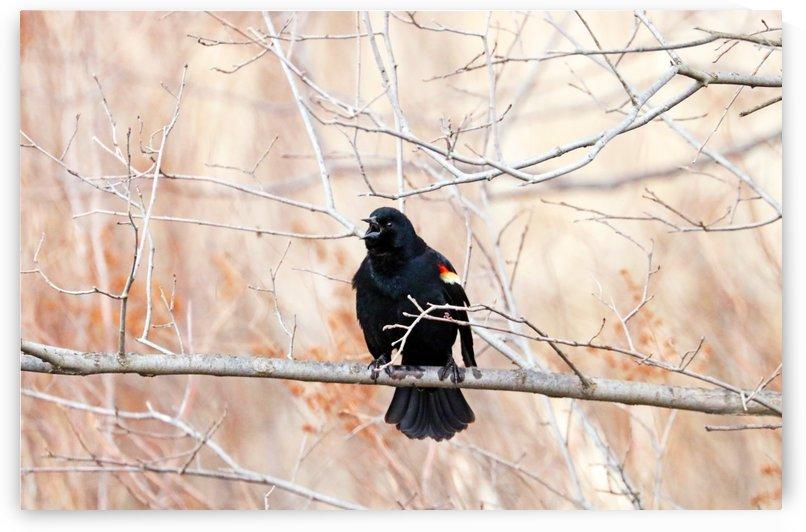 Singing Blackbird by Deb Oppermann