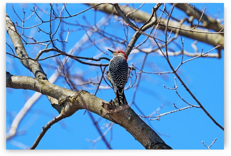 Red Bellied Woodpecker In Spring by Deb Oppermann
