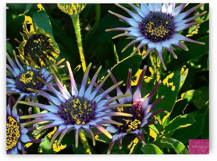 Daisy Desire by BotanicalArt ca