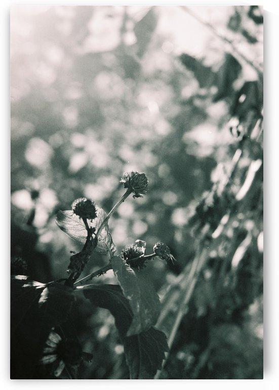 Film  - Sunshine Flowers by Sarah Goldstein