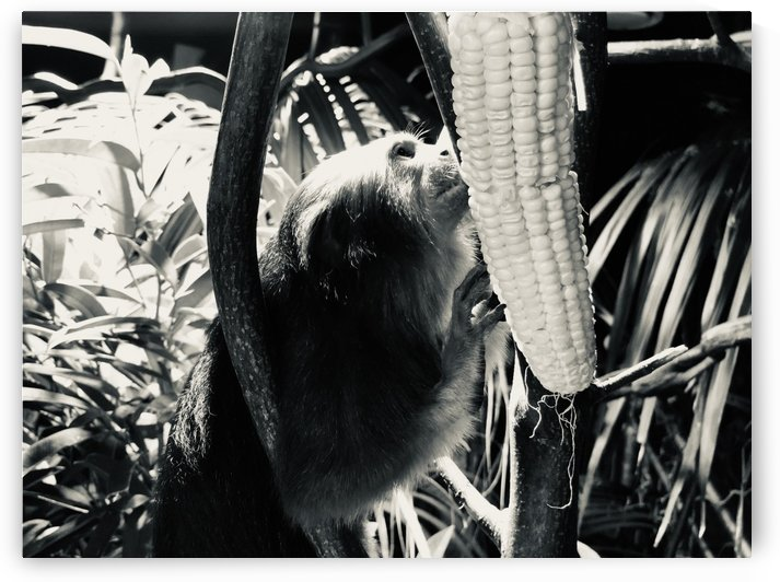 Monkey and the corn by Photo By Damien