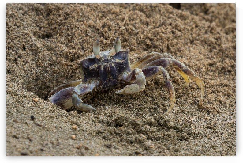 Ghost Crab   Kauai Hawaii 0881 by @ThePhotourist