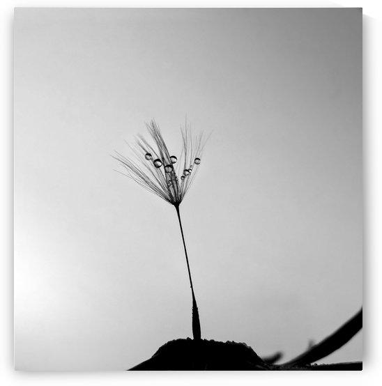 Dandelion Drops by Sarah Goldstein