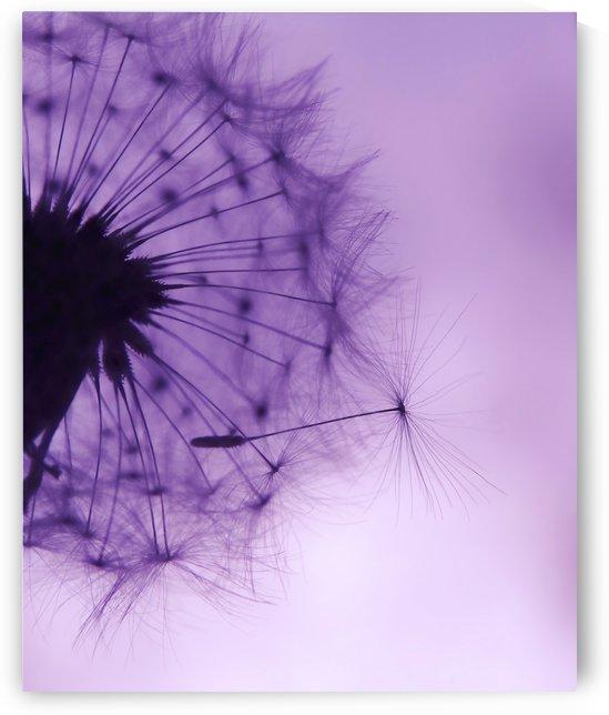 Purple Dandelion by Sarah Goldstein