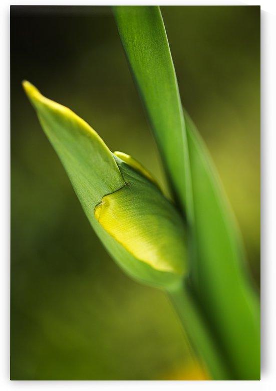 Tulip Bud  by Joy Watson