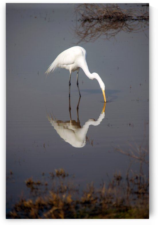 The Kiss White Egret by Frank Wilson