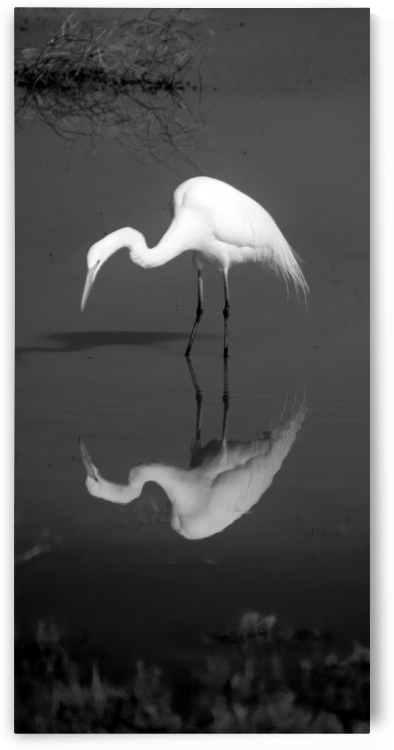 Who Are You White Egret BW by Frank Wilson