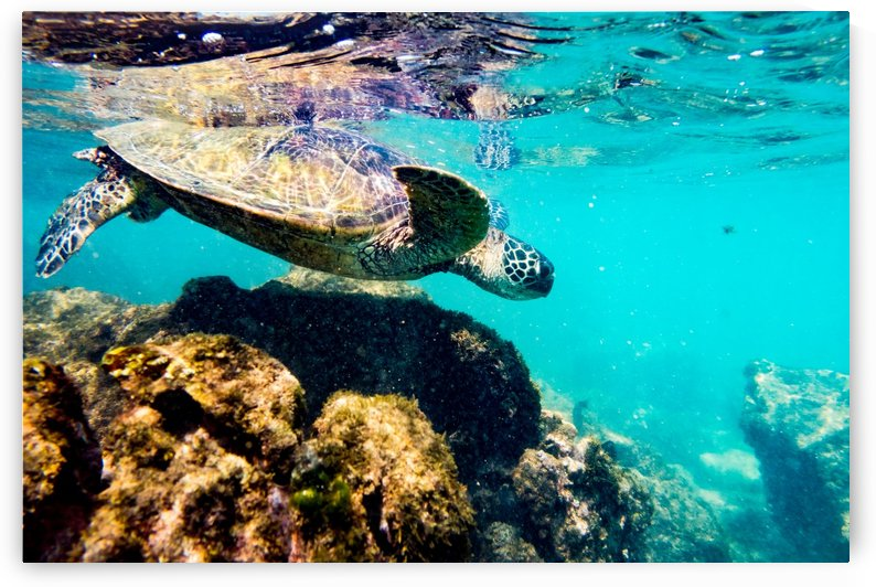Green Sea Turtle   Maui Hawaii 01412 by @ThePhotourist
