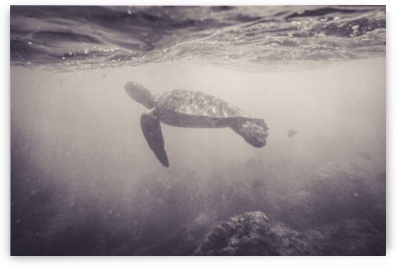 Green Sea Turtle   Maui Hawaii 01449 by @ThePhotourist