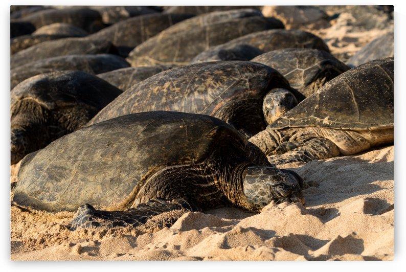 Green Sea Turtles on Hookipa Beach   Maui Hawaii 4306 by @ThePhotourist