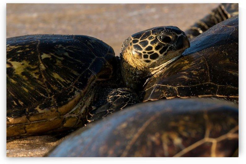 Green Sea Turtles on Hookipa Beach   Maui Hawaii 4350 by @ThePhotourist