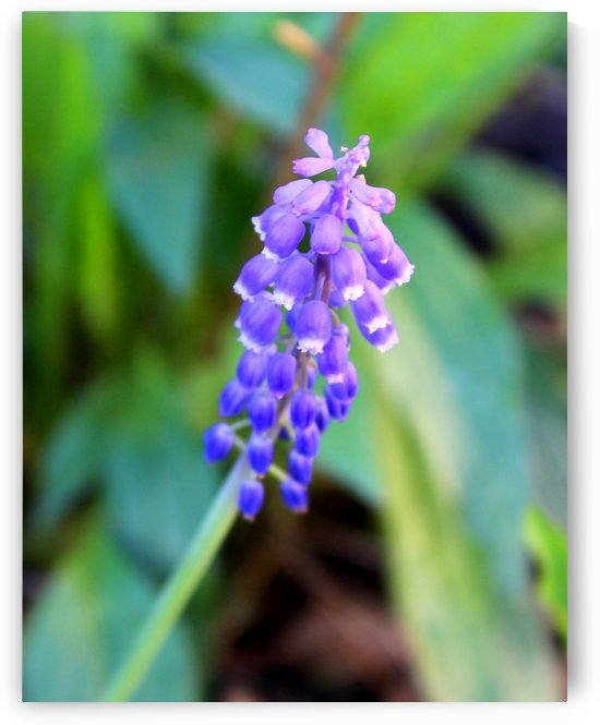 Grape Hyacinth by Natures Alchemy Captured