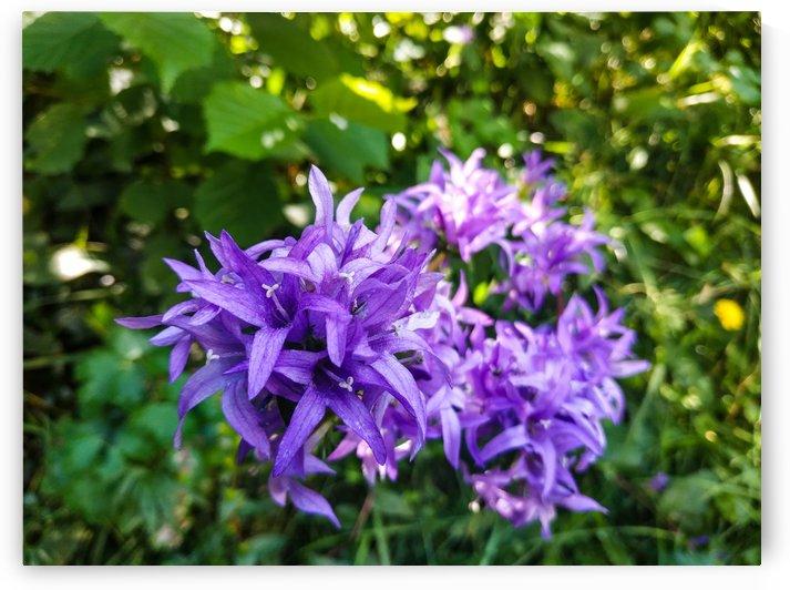Violet flowers by Michal Dunaj