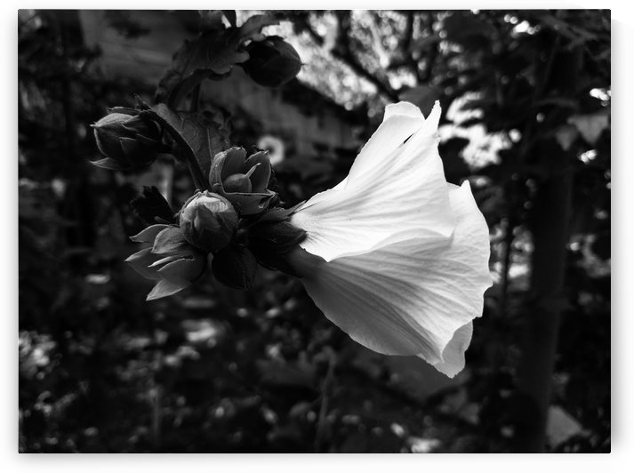 Blooming flower in black and white by Michal Dunaj