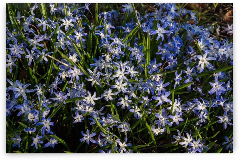Forest Floor Treasures - Early Spring Blanket of Glory-of-the-Snow Blue Flowers by GeorgiaM