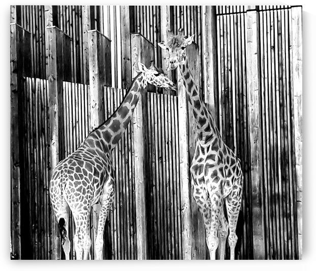 Two Giraffes B&W by Gina Lafont