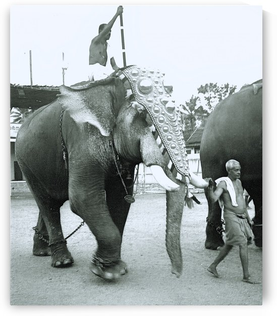 Indian Festival Elephant B&W by Gina Lafont