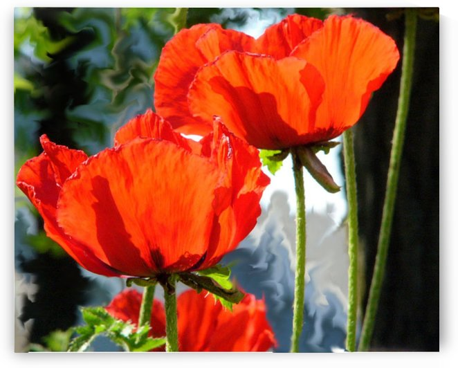 Poppies by Lisa Bates