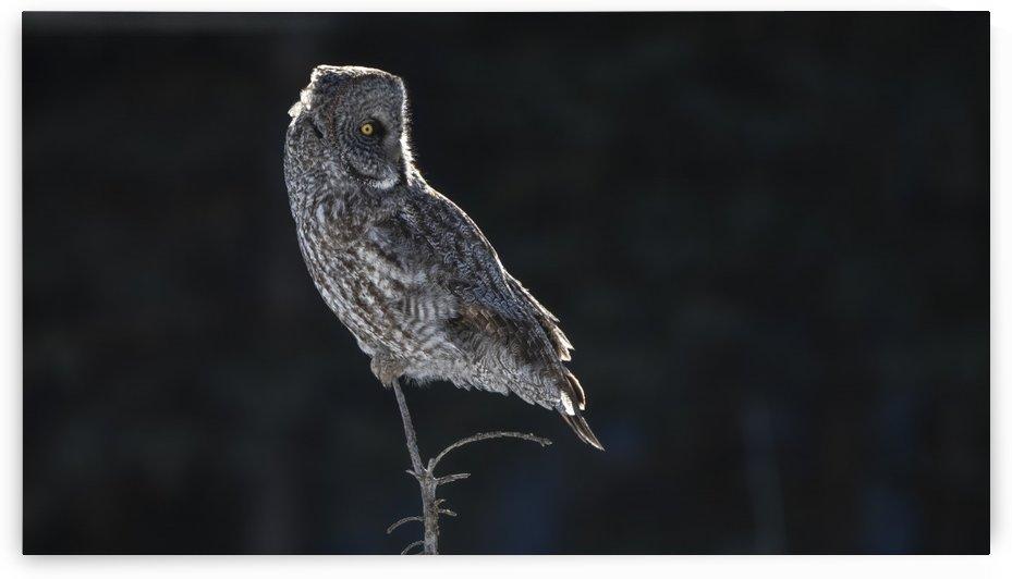Great Grey Owl Back Lite  Alberta Canada by Ken Anderson Photography