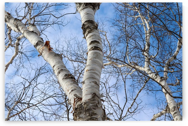 Birch Tree Sky by Holly Smith Photography