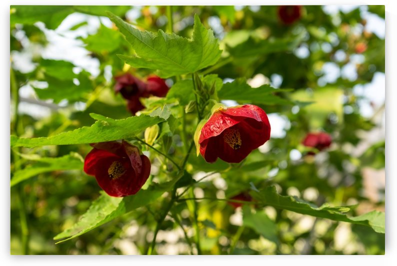 Midsummer Garden Dreams - Abutilon Chinese Lanterns in Rich Vermilion by GeorgiaM