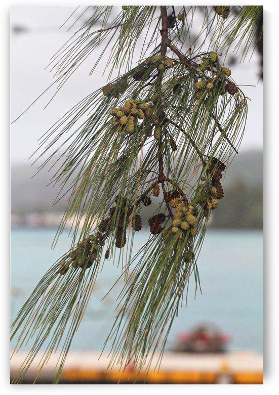 Pine Cones by On da Raks