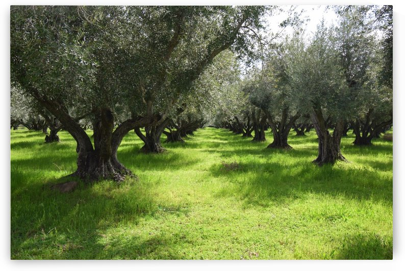 Olive Orchard In Spring by Frank Wilson