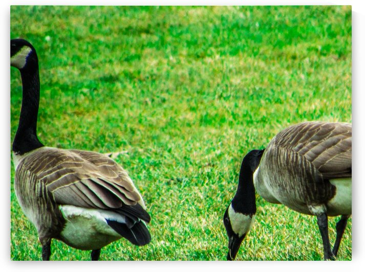 Geese by Daniel Rothenberg
