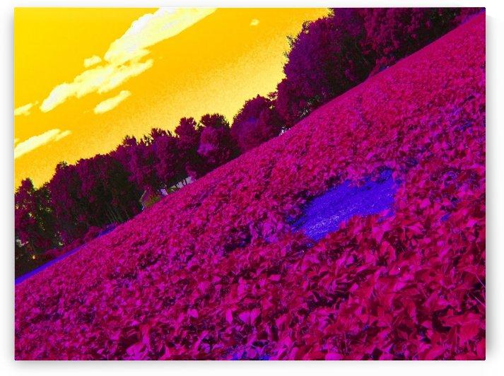 Slanted Cornfield by Daniel Rothenberg