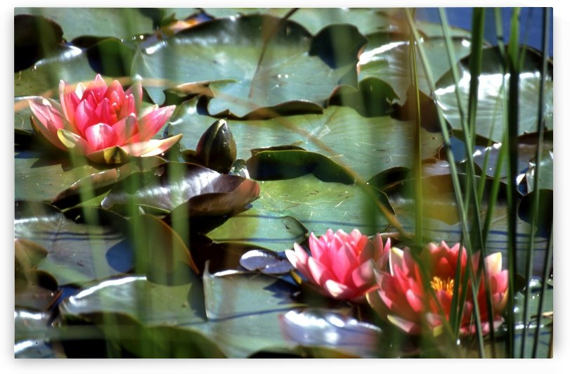 PINK WATER LILIES 1 by Jean-Jacques MASSOU