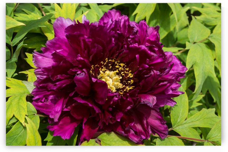Carmine Colored Ruffles and Gold Dust - Showy Tree Peony Bloom by GeorgiaM