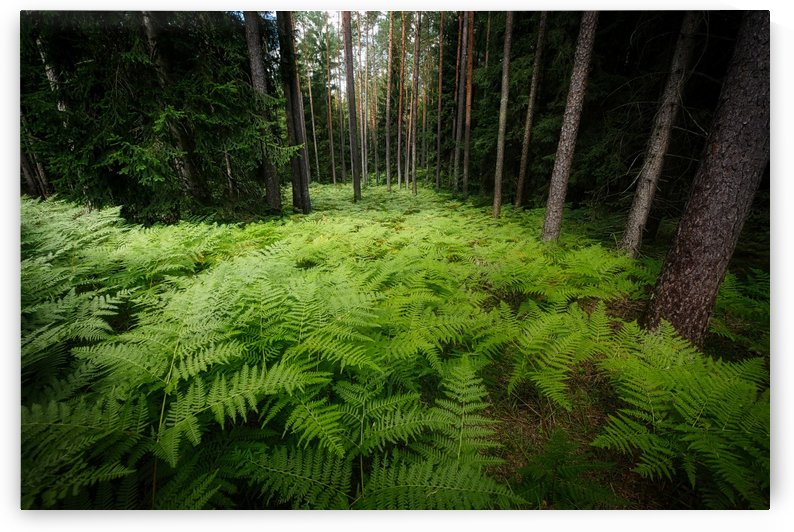 fern forest nature plant flora by Shamudy