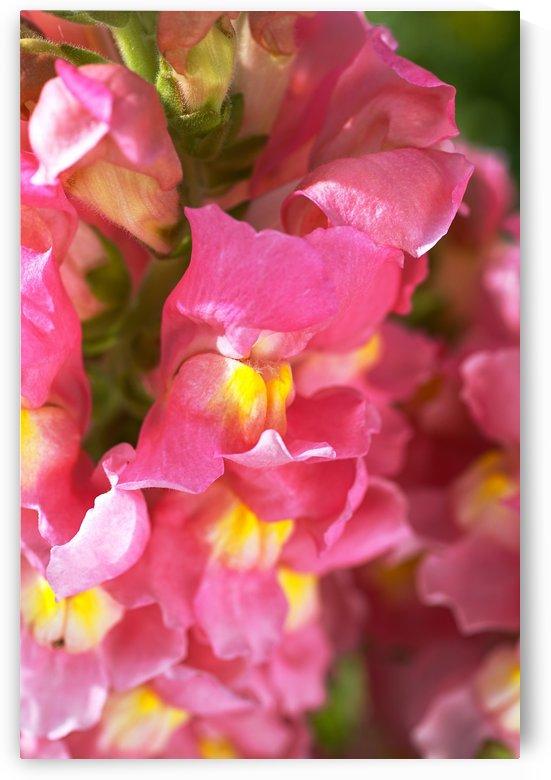 Snapdragon Flowers Of Pink by Joy Watson