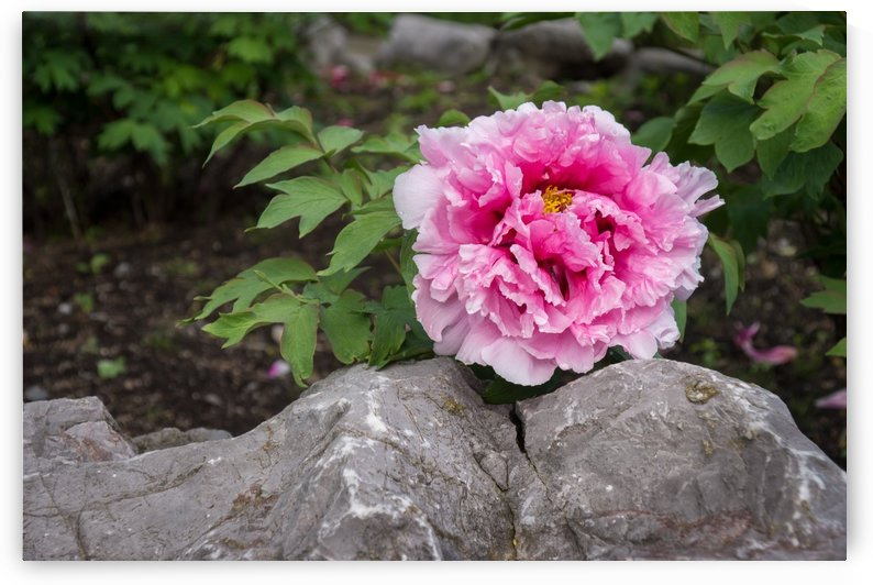 Peony on the Rocks - the Marvels of Spring by GeorgiaM