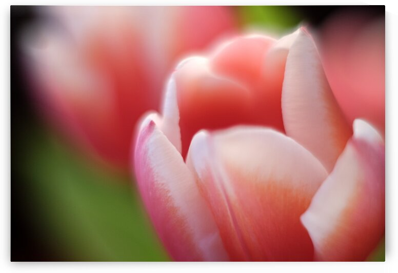 Pink Tulip 4 by Dave Therrien