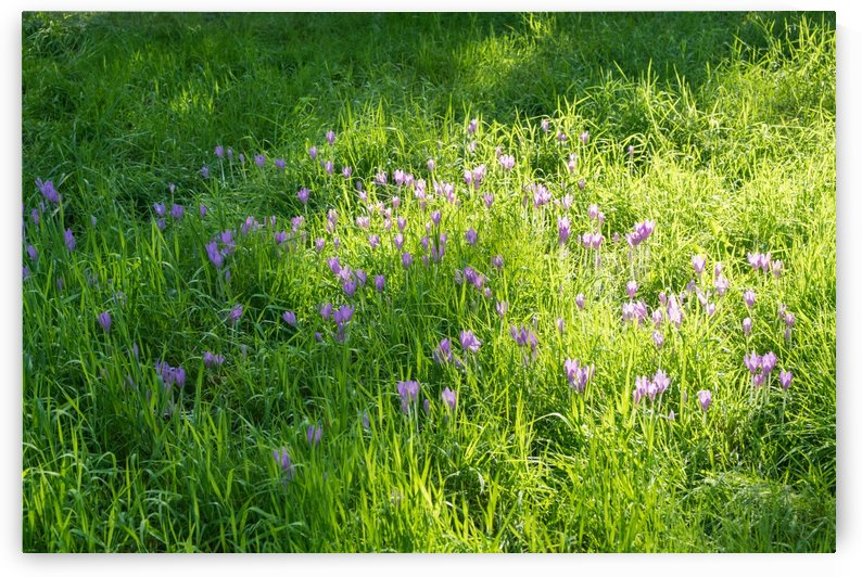 Spring Meadow Abundance - Delicate Crocuses and Grass Blades in the Sunshine by GeorgiaM