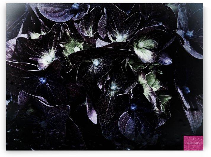 Hydrangea Mood by BotanicalArt ca