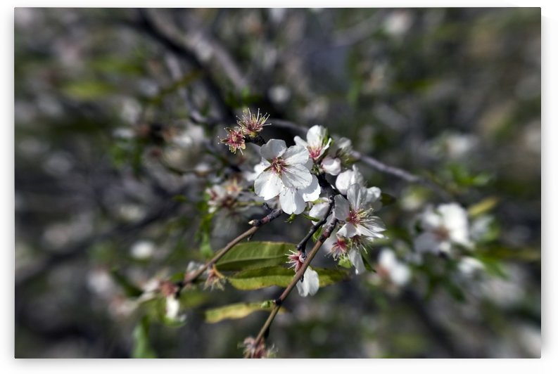 Flowering almonds 2 by AndreiPodelko