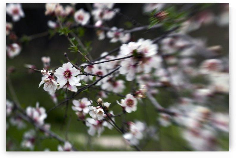 Flowering almonds 1 by AndreiPodelko