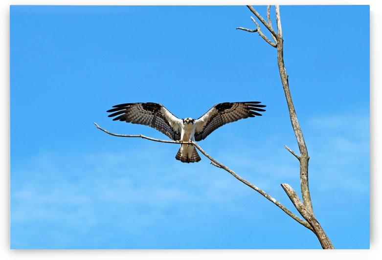 Osprey Landing by Deb Oppermann