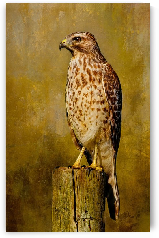 Hawk Lookout by HH Photography of Florida