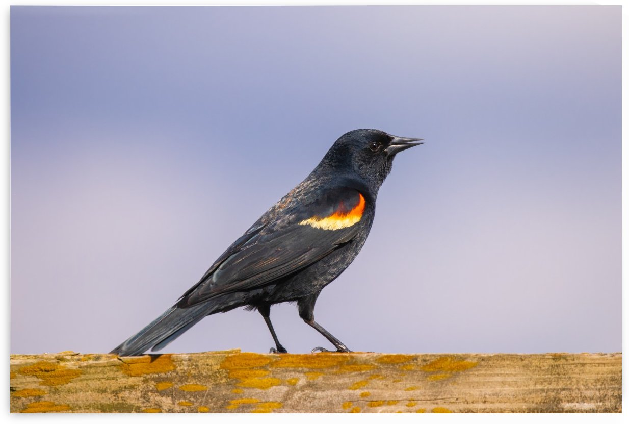 Red winged blackbird by Joe Riederer