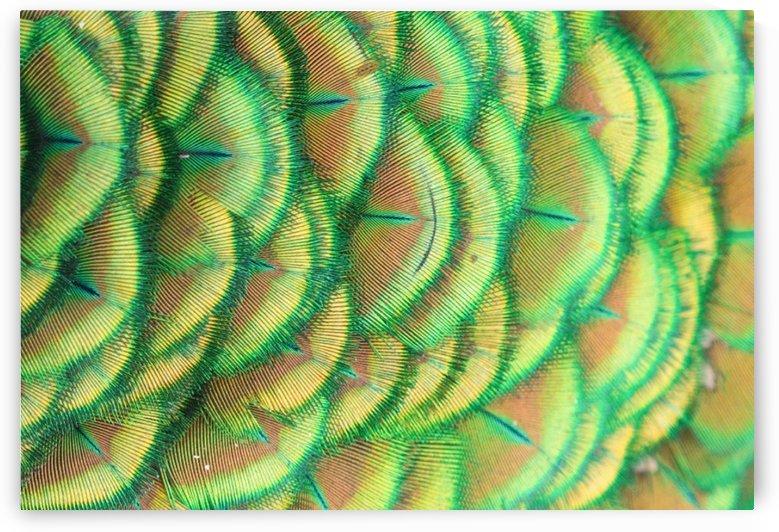 beautiful peacock by Shamudy