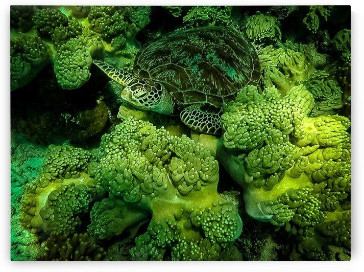 Green Sea Turtle by Justgoexplore